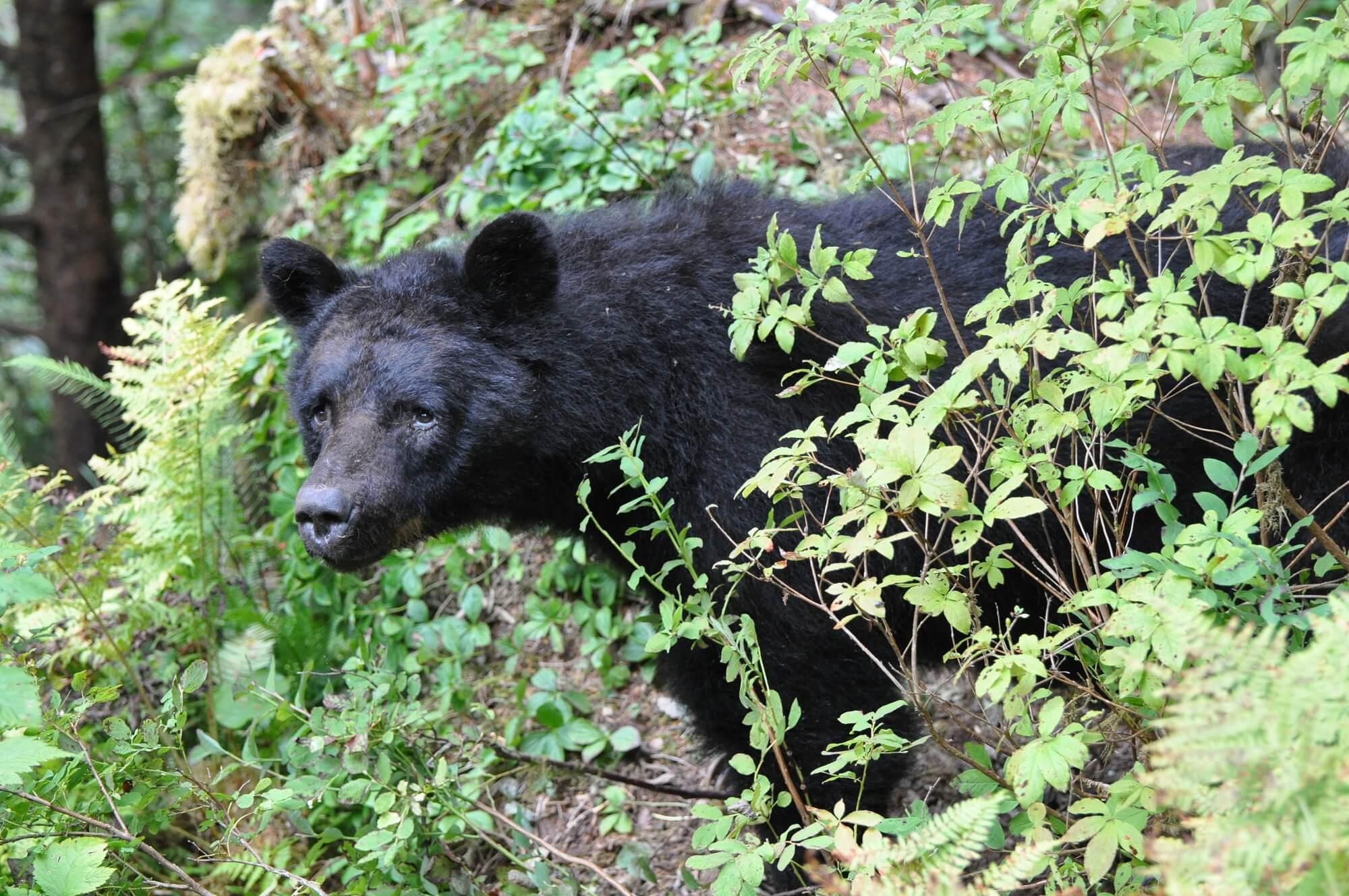 https://www.kawanti.com/wp-content/uploads/2018/10/Alaska-Bear-Black-Bear-in-vegetation.jpg