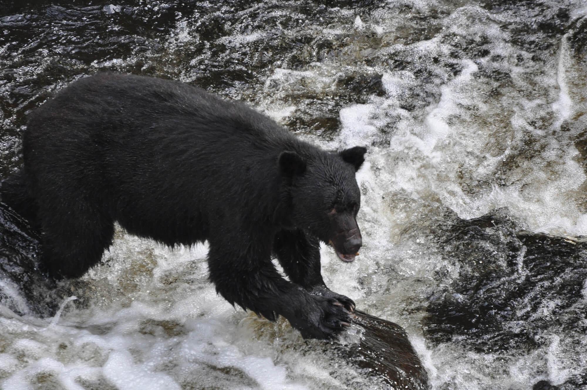 https://www.kawanti.com/wp-content/uploads/2018/10/Alaska-Bear-Black-Bear-on-rock-in-rapids.jpg