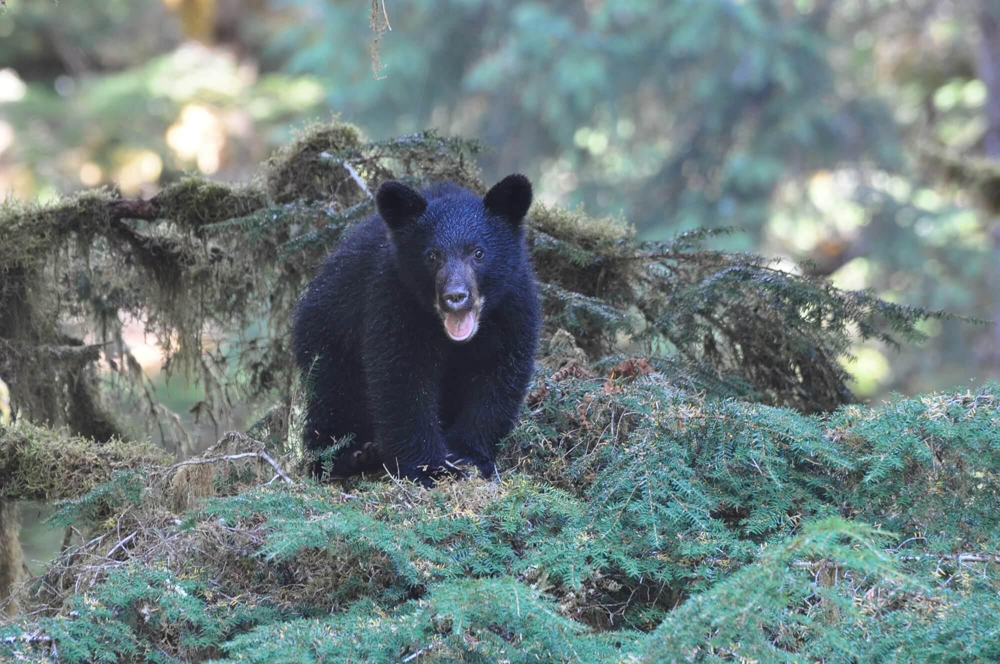 https://www.kawanti.com/wp-content/uploads/2018/10/Alaska-Bear-cub.jpg