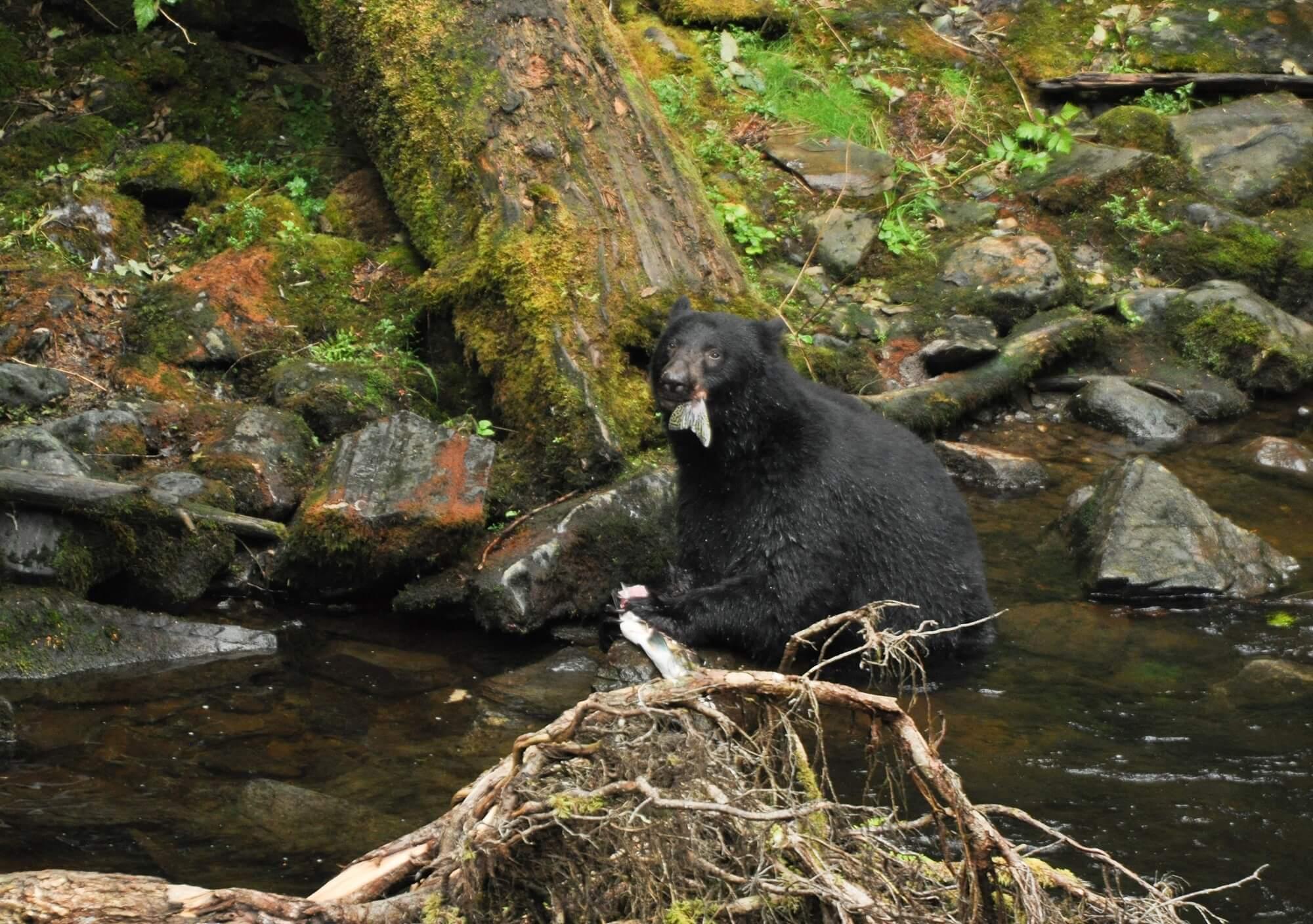 https://www.kawanti.com/wp-content/uploads/2018/11/Alaska-Bear-Black-Bear-with-salmon-tail.jpg